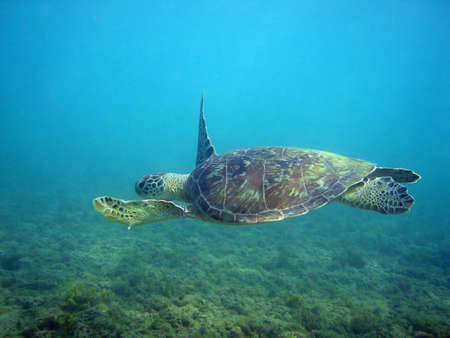 A sea turtle quietly swimming. Stock Photo