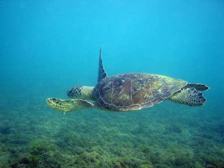 Una tartaruga marina nuotare tranquillamente.