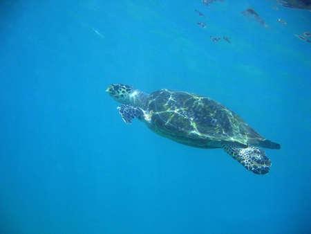 Una tartaruga del mare che nuota tranquillamente. Archivio Fotografico