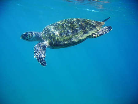 A sea turtle near the surface.