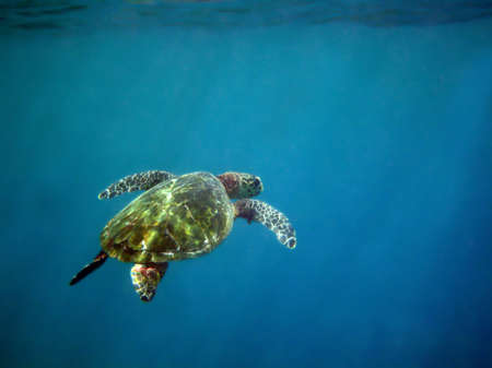 A very serene photograph of a sea turtle in the deep blue sea.  Stock Photo