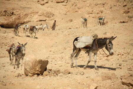A line of donkeys working hard near a temple in Luxor - Egypt. Stock Photo