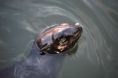 A set of a  sea lion in the water. photo