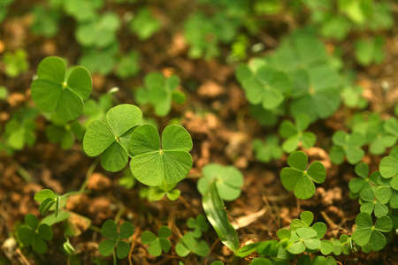superstitions: A jungle of 4 (four) leaf clovers! Lucky day!