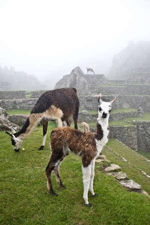 Llamas photo