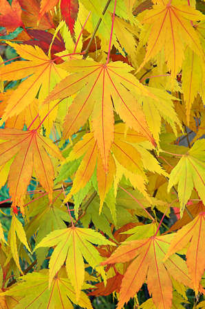 Golden yellow Japanese maple leaves with red veins