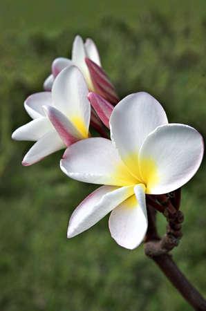 White Frangipani (Plumeria rubra var. acutifolia ) blossom on Big Island, Hawaii