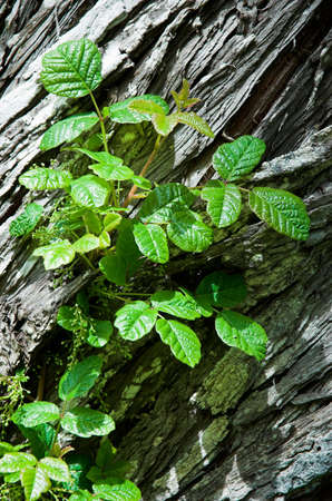 Poison Oak in bud, growing on a cedar tree Imagens