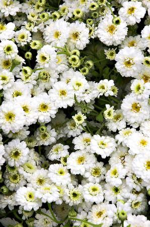 A bunch of Feverfew (Tanacetum parthenium) 免版税图像