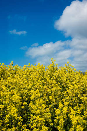 A field of mustard plants against a blue sky with fluffy white clouds Stock Photo