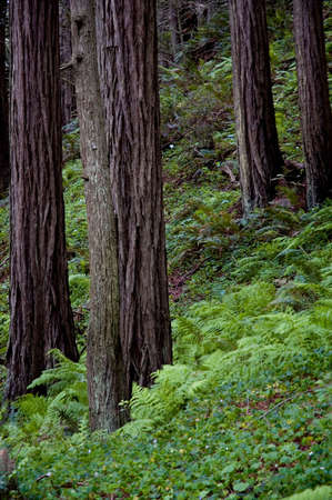 Ferns and oxalis growing under a remote coastal redwood forest in California. photo