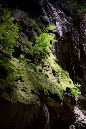 Ferns growing on a cliff face illuminated by a shaft of sunlight photo