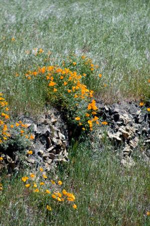 California poppies on a remote windblown hillside in Big Sur photo