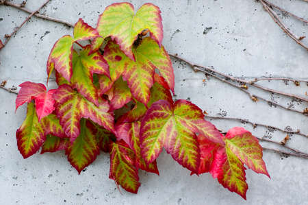 Boston Ivy (Parthenocissus tricuspidata) on a concrete wall, turning bright Autumn colors photo