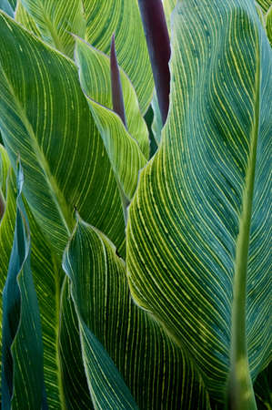 Big leaves of a striped canna plant