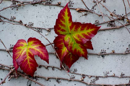 autumn colour: Boston Ivy (Parthenocissus tricuspidata) on a concrete wall, turning bright Autumn colors Stock Photo