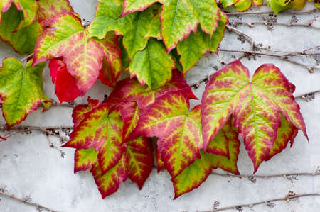 Boston Ivy (Parthenocissus tricuspidata) on a concrete wall, turning bright Autumn colors Stock Photo