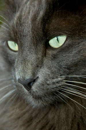 Closeup of a Norwegian Forest Cat
