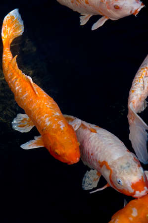 Image of Koi fish swimming in a dark pond