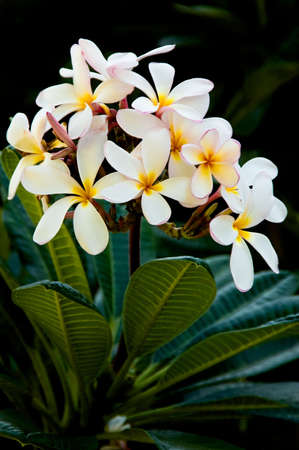 blossoming yellow flower tree: Early morning image of white and yellow Frangipani (Plumeria rubra var. acutifolia) blossoms against a dark background Stock Photo