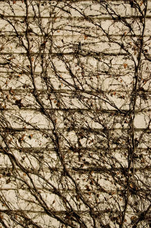 Leafless Boston Ivy vines growing on a cream colored block wall. photo