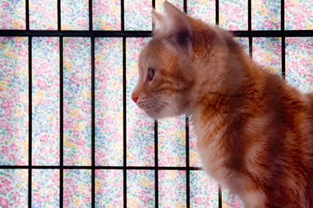 waiting convict: An orange striped kitten in a cage that is covered with pastel gingham cloth.