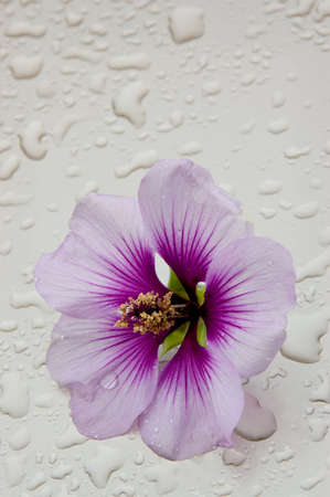 Flower of a French Hollyhock (Malva sylvestris) sitting on a pale surface with waterdrops. photo