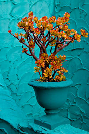 jade plant: A jade plant, leaves tipped with red from the sun, photographed against a aqua blue wall.
