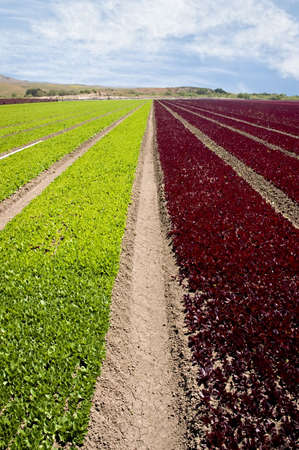 Rows of green and red leaf lettuce in a field in Northern California