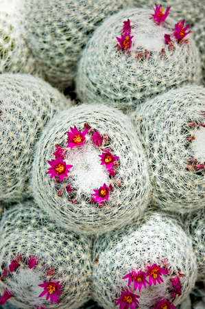 spines: A closeup of a cluster of cacti with white spines and magenta flowers Stock Photo