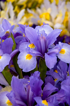Siberian iris in a florists stand