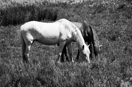Black and white image of two mares grazing in a field.