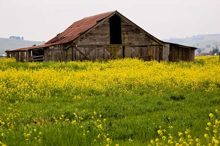 A pole barn in the Sonoma Valley of California, with yellow mustard in bloom