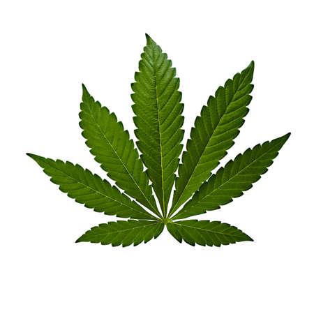 A marijuana leaf isolated on a white background