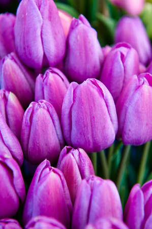 A bunch of lavender colored tulip buds