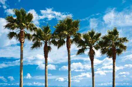 Five fan palms against a cloudy blue sky photo