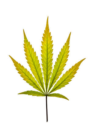 A golden marijuana leaf isolated on a white background photo