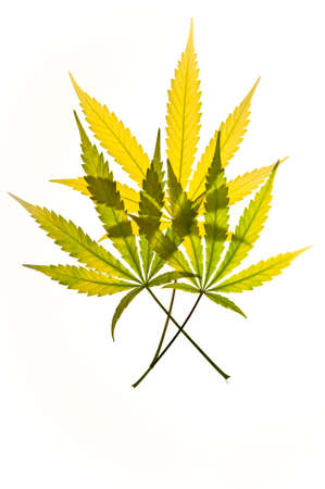 Three brightly colored translucent marijuana leaves against a white background. photo