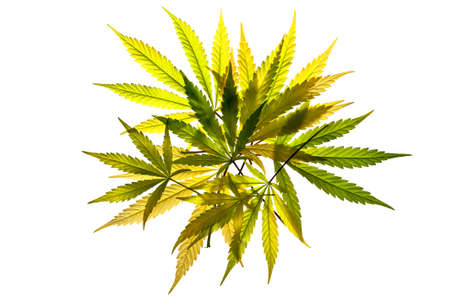 A pile of cannabis leaves on a white background