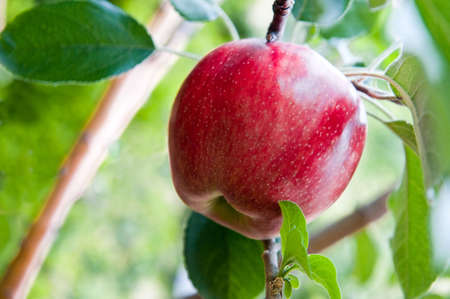 A sweet red apple hanging in a tree