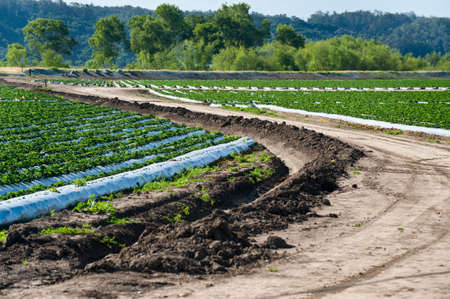 A strawberry farm in the Pajaro Valley of California Stock Photo - 6852749