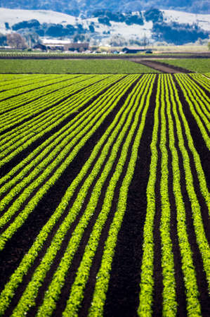 Rows of lettuce growing in the Parajo Valley of California Stock Photo - 6852752