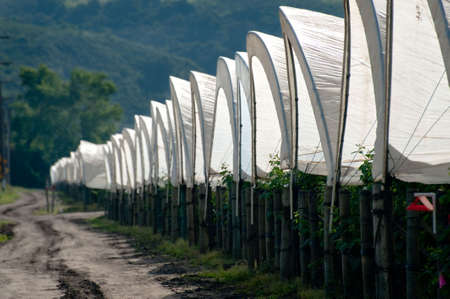 A row of plastic covered bow house tents for raspberry production Stock Photo - 6852746