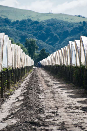Rows of white hoop houses over raspberries in Pajaro Valley California Stock Photo - 6852738