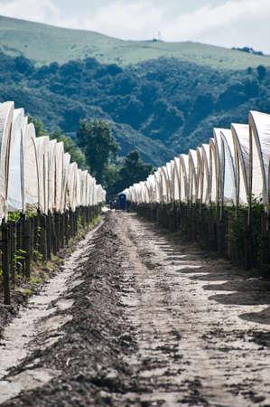 Rows of white hoop houses over raspberries in Pajaro Valley California Stock Photo - 6852738