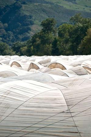White hoop tents over Pajaro Valley California raspberry fields. Stock Photo - 6852745
