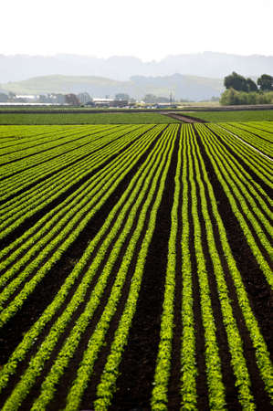Rows of freshly planted lettuce in the Pajaro Valley of California Stock Photo