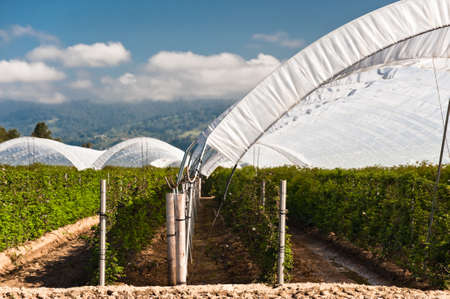 Hoop tents over raspberry vines growing in the Pajaro Valley of California.