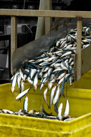 Small fresh fish slide down a chute and into a bucket Stock Photo - 8509631