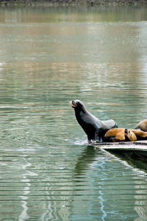 Barking California sealions on a small pier